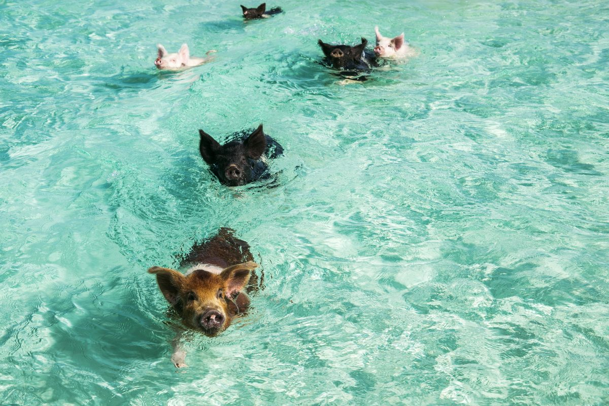 swimming with pigs on Big Major Cay Bahamas